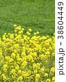 菜の花畑 菜の花 菜花の写真 38604449