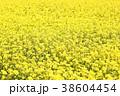 菜の花 菜花 花の写真 38604454