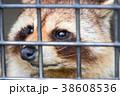檻の中のホンドタヌキ 38608536