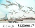 横浜のカモメ  横浜の観光名所ランドマークや赤レンガ倉庫バックでのカモメ達です。 38609017