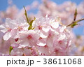 カワヅザクラ1 38611068