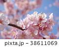 カワヅザクラ2 38611069