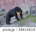 マレーグマ クマ 動物の写真 38614819