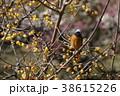 蝋梅とジョウビタキ 38615226
