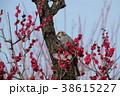 紅梅とヒヨドリ 38615227