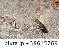 ハンミョウ 甲虫 虫の写真 38615769