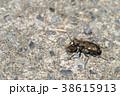 ハンミョウ 甲虫 虫の写真 38615913