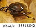 カブトムシの雌 38618642