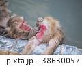 ニホンザル 温泉 猿の写真 38630057