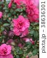 アザレア 花 ツツジの写真 38636301