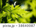 紅葉 グリーン 緑の写真 38640087