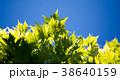紅葉 グリーン 緑の写真 38640159