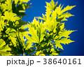 紅葉 グリーン 緑の写真 38640161