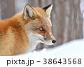 キタキツネ 狐 冬の写真 38643568