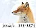 キタキツネ 狐 冬の写真 38643574