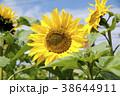 ヒマワリ 向日葵 ひまわり畑の写真 38644911