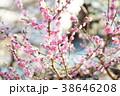 春の梅 38646208