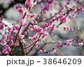 春の梅 38646209