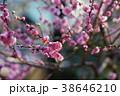 春の梅 38646210