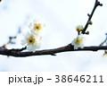 春の梅 38646211
