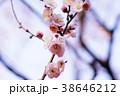 春の梅 38646212