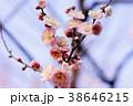 春の梅 38646215