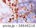 春の梅 38646216
