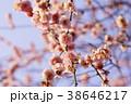 春の梅 38646217