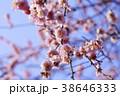 湯島天満宮の梅まつり 38646333