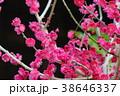湯島天満宮の梅まつり 38646337