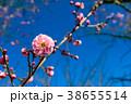 梅 梅の花 花の写真 38655514