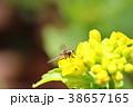 菜の花の蜜を吸いに来た昆虫 38657165