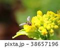 菜の花の蜜を吸いに来た昆虫 38657196