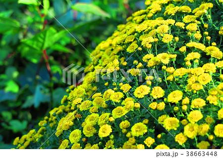 黄色い小さな菊の花の風景 38663448
