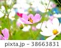 花 コスモス ミツバチの写真 38663831