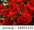 バラ 薔薇 花の写真 38664194