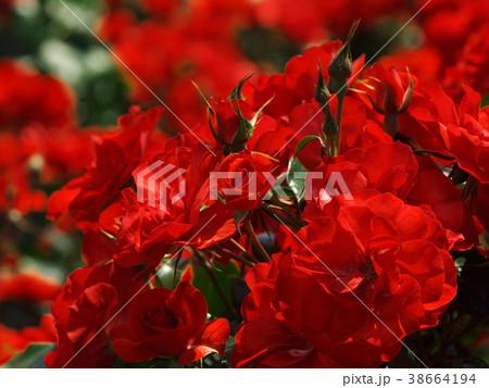 初夏の香りを放つ紅い薔薇 38664194