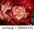 バラ 薔薇 花の写真 38664195