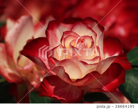 初夏の香りを放つ紅い薔薇 38664195