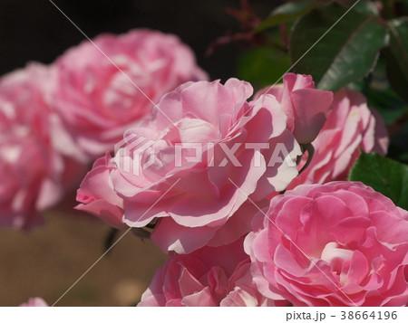初夏の香りを放つ薔薇 38664196