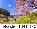 河津桜 桜 花の写真 38664642