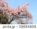 寒桜 青空 花の写真 38664808