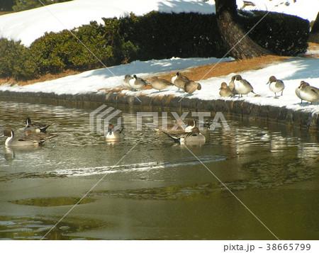 雪の残った日の氷の中を泳ぐオナガガモ 38665799