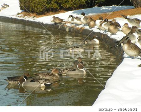 雪の残った日の氷の中を泳ぐオナガガモ 38665801