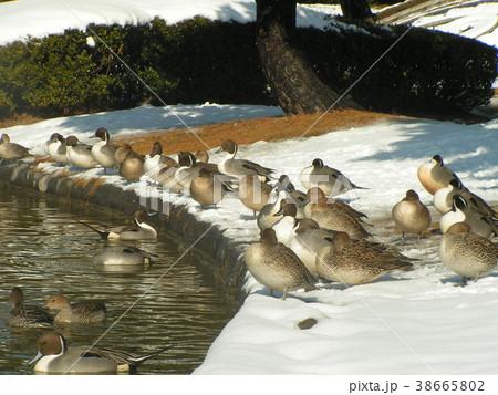 雪の残った日の氷の中を泳ぐオナガガモ 38665802
