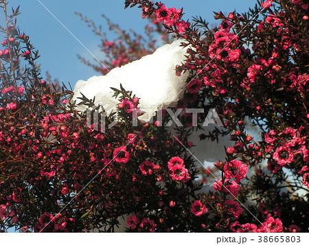 雪の残った桃色の可愛い花はギョリュウバイ 38665803