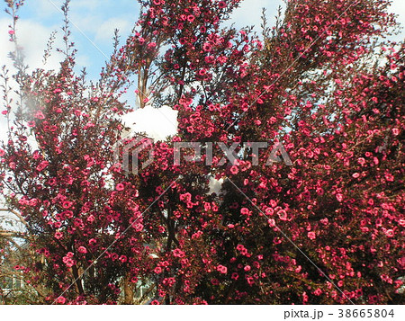雪の残った桃色の可愛い花はギョリュウバイ 38665804