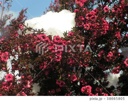 雪の残った桃色の可愛い花はギョリュウバイ 38665805