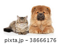 チャウチャウ わんこ 犬の写真 38666176