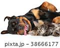 ねこ ネコ 猫の写真 38666177